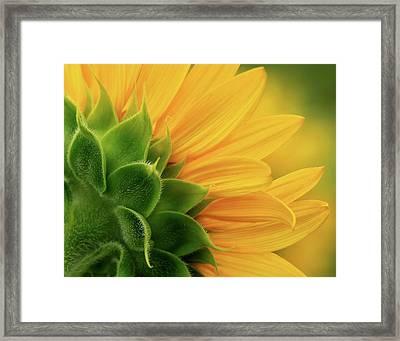 Back View Of Sunflower Framed Print