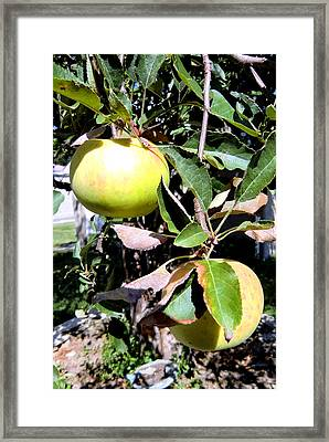 Back Yard Apples Framed Print by Mindy Newman