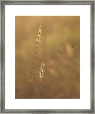 Backlight Grass Stalks Framed Print by Barry Culling