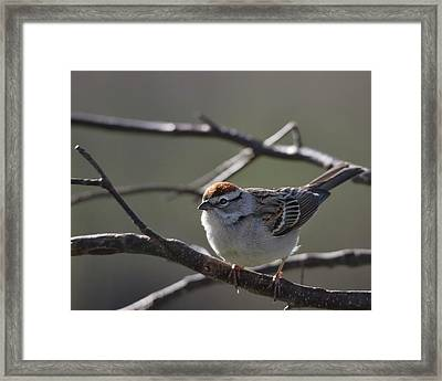Framed Print featuring the photograph Backlit Chipping Sparrow by Susan Capuano