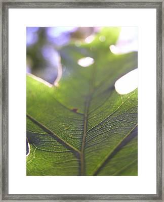 Backlit Leaf Framed Print