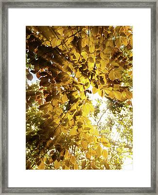 Backlit Leaves Framed Print by Wim Lanclus