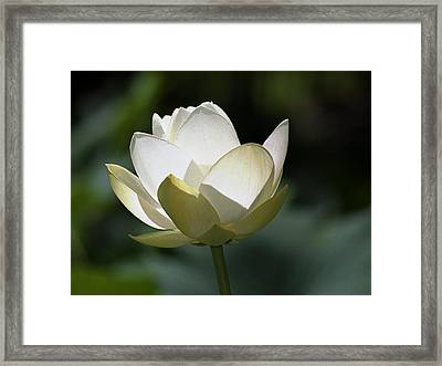 Backlit Lotus Framed Print by Barry Culling