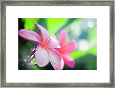 Backlit Plumeria. Framed Print by Sean Davey