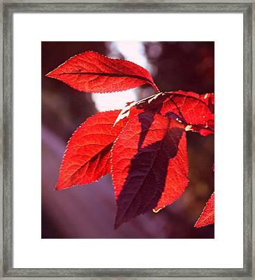 Backlit Red Leaves Framed Print by Kami McKeon