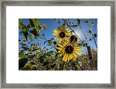 Framed Print featuring the photograph Backlit Sunflower 3 by Dave Dilli