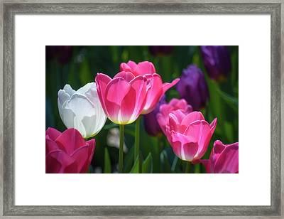 Backlit Tulips Framed Print by James Barber