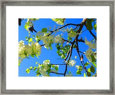 Backlit White Tree Blossoms Framed Print by Amy Vangsgard