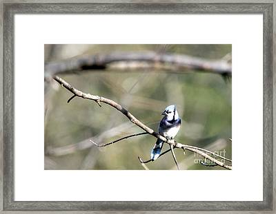 Backyard Blue Jay Framed Print