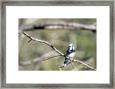 Backyard Blue Jay Oil Framed Print