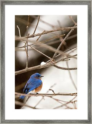 Backyard Bluebird Framed Print