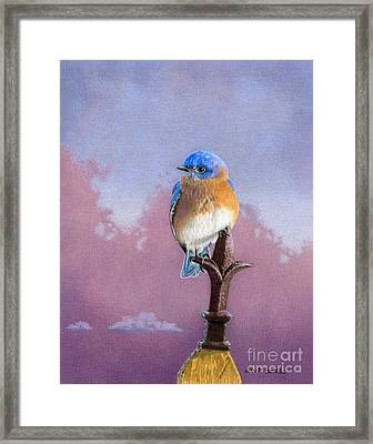 Backyard Bluebird Framed Print by Sarah Batalka