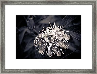 Clematis Flower Bloom Framed Print