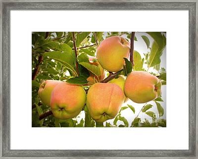 Backyard Garden Series - Apples In Apple Tree Framed Print by Carol Groenen