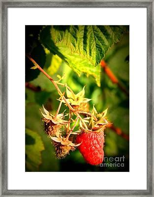 Backyard Garden Series - One Ripe Raspberry Framed Print by Carol Groenen