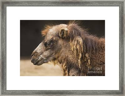Bactrian Camel Framed Print by Twenty Two North Photography