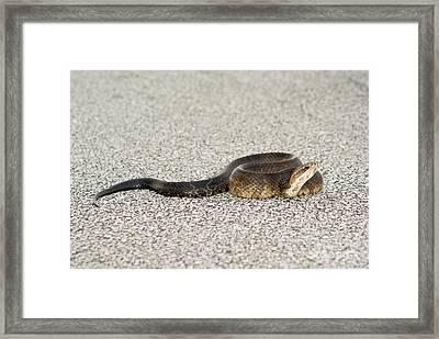 Bad Reptile Framed Print by Jack Norton