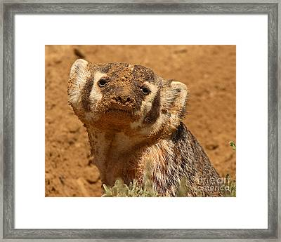 Badger Covered In Dirt From Digging Framed Print by Max Allen