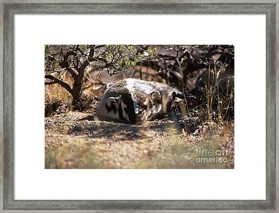 Framed Print featuring the photograph Badger by Edward R Wisell