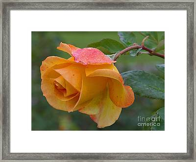 Balboa Rose Framed Print