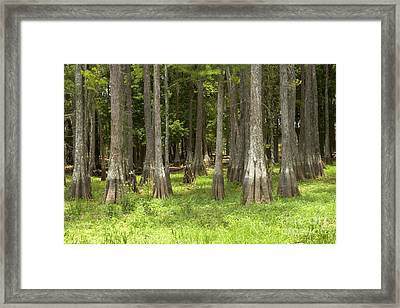 Bald Cypress Forest Framed Print by Inga Spence