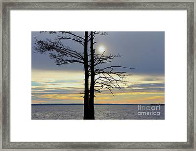 Bald Cypress Silhouette Framed Print