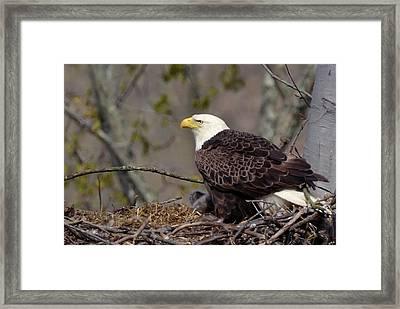 Bald Eage In Nest Framed Print by Ann Bridges