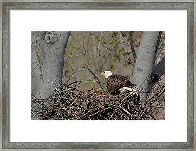 Bald Eagle 01 Framed Print by Ann Bridges