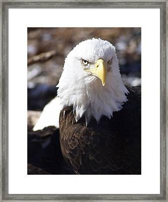 Bald Eagle 1 Framed Print by Marty Koch