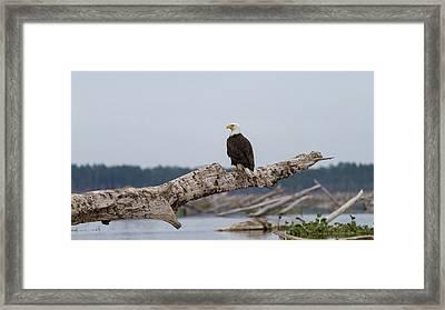 Bald Eagle #1 Framed Print