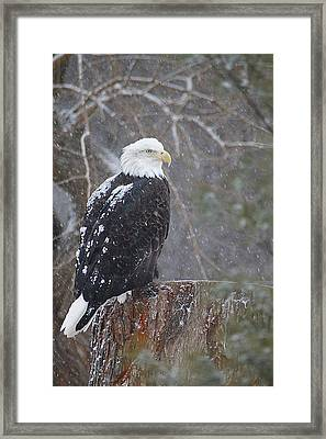 Bald Eagle 1 Framed Print