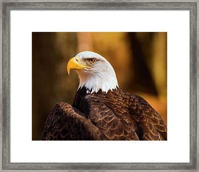 Bald Eagle 2 Framed Print