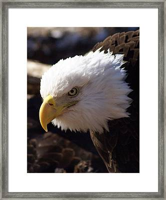 Bald Eagle 2 Framed Print by Marty Koch
