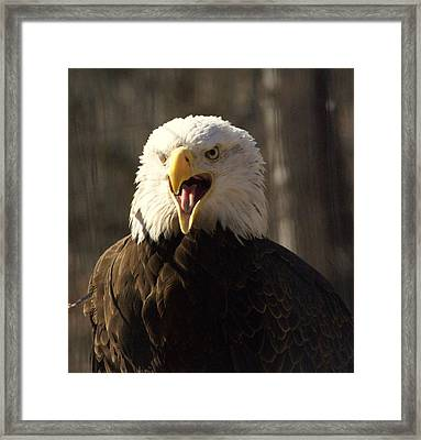 Bald Eagle 4 Framed Print by Marty Koch