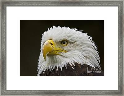 Bald Eagle - 6 Framed Print by Heiko Koehrer-Wagner