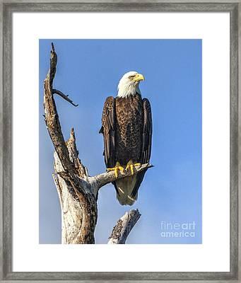Bald Eagle 6366 Framed Print