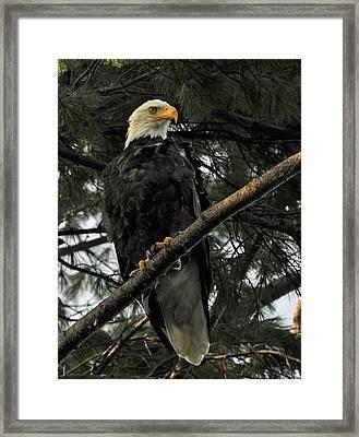Bald Eagle Framed Print by Glenn Gordon