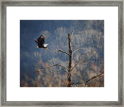 Bald Eagle At Boxley Mill Pond Framed Print