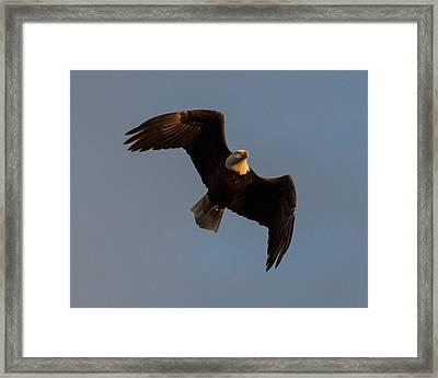 Bald Eagle At Sunrise Framed Print