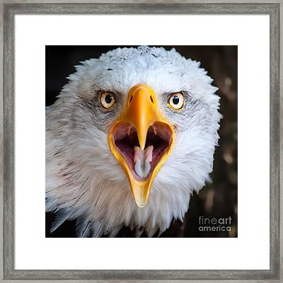 Bald Eagle Call Framed Print