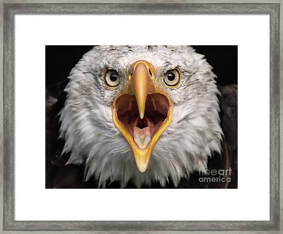 Bald Eagle Calling Framed Print