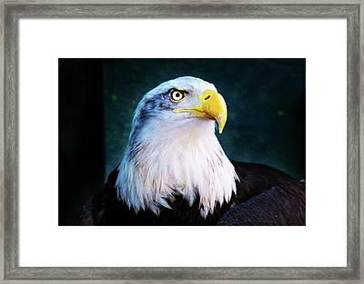 Bald Eagle Close Up Framed Print
