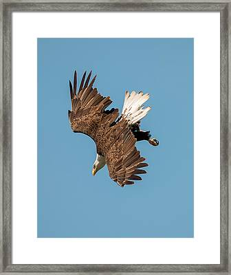Bald Eagle Dive Framed Print