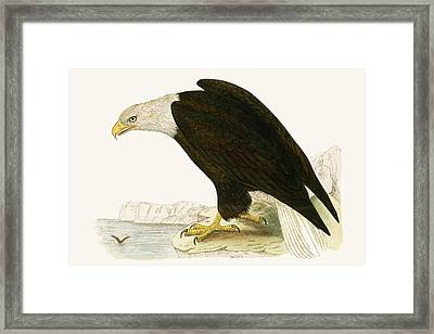 Bald Eagle Framed Print by English School
