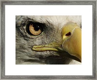 Bald Eagle Eye Framed Print