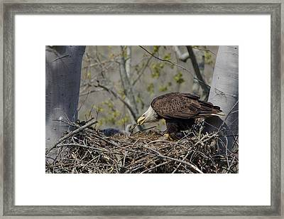 Bald Eagle Feeding Framed Print by Ann Bridges