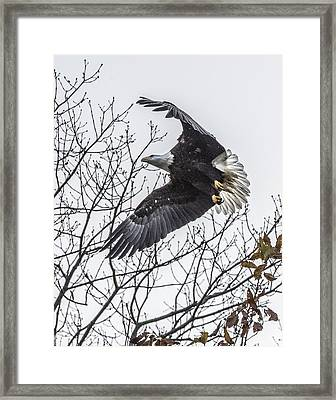 Bald Eagle Flying Framed Print