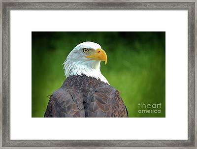 Bald Eagle Framed Print by Franziskus Pfleghart
