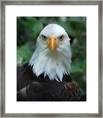 Bald Eagle Head Framed Print by Christine Savino