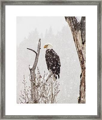 Bald Eagle In A Blizzard 2 Framed Print